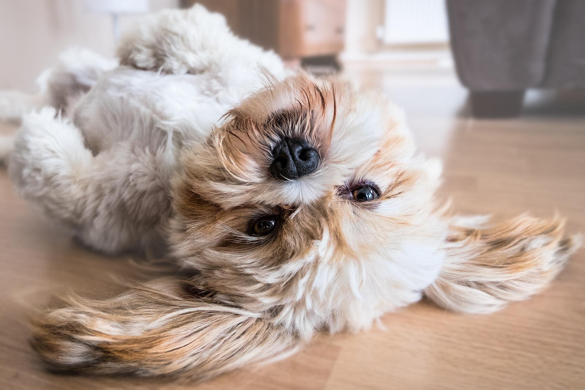 Cani in appartamento: piccoli consigli per fare la scelta giusta